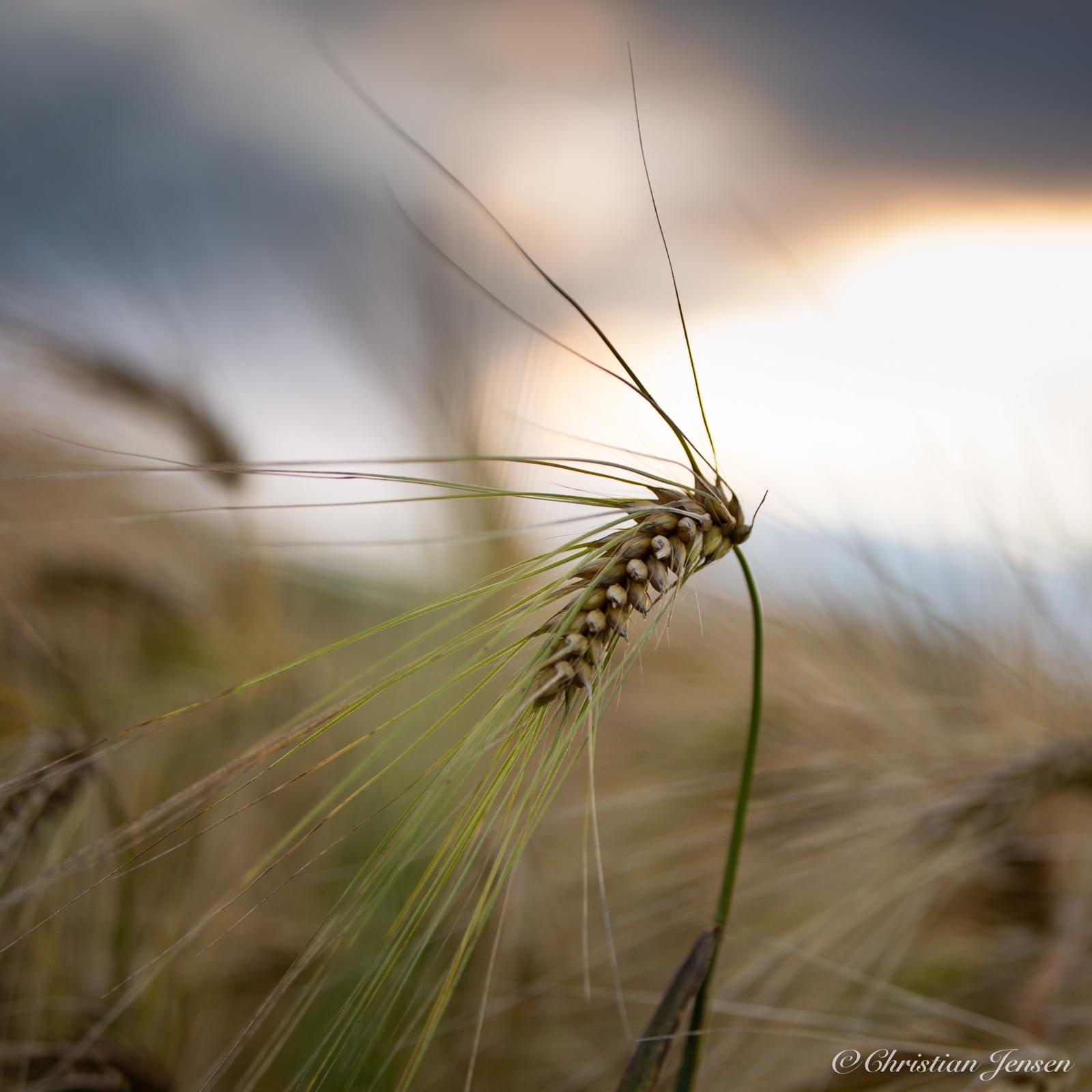 Details in the corn field